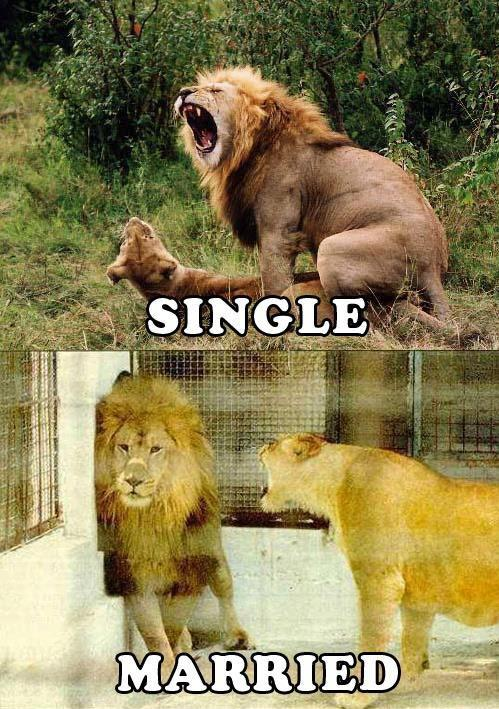 single married lions
