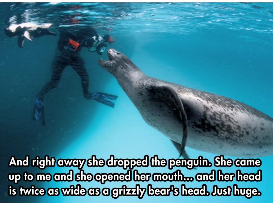 leopard-seal-2