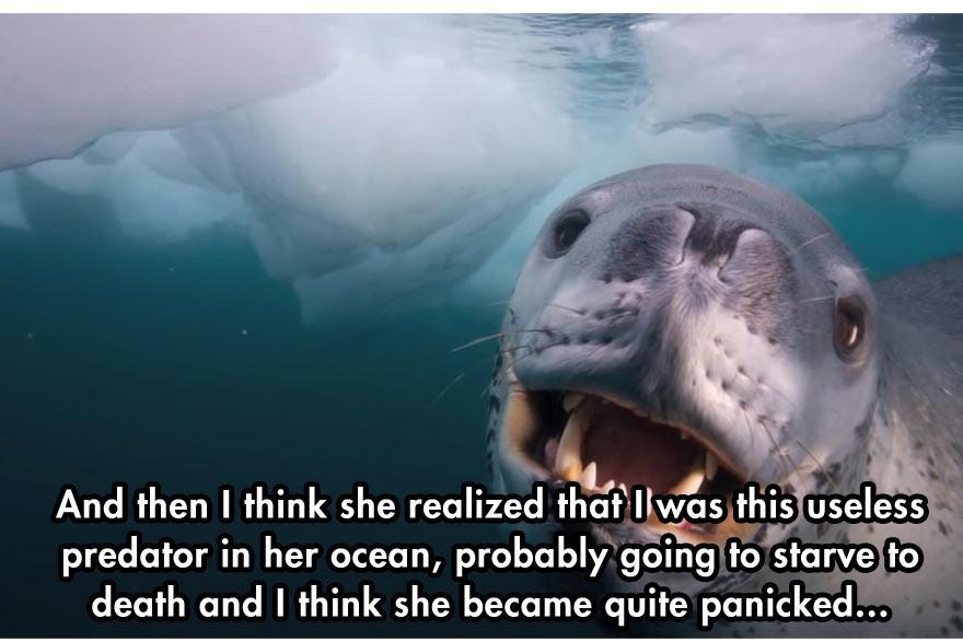 leopard-seal-6