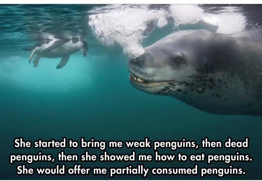 leopard-seal-7