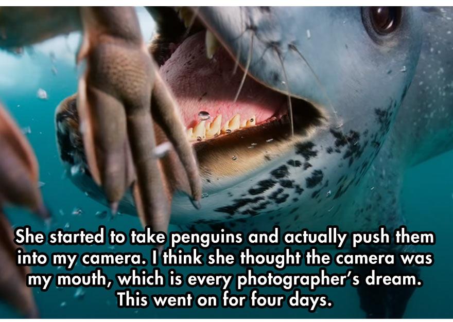leopard-seal-8