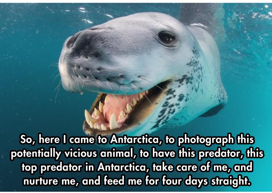 leopard-seal-9